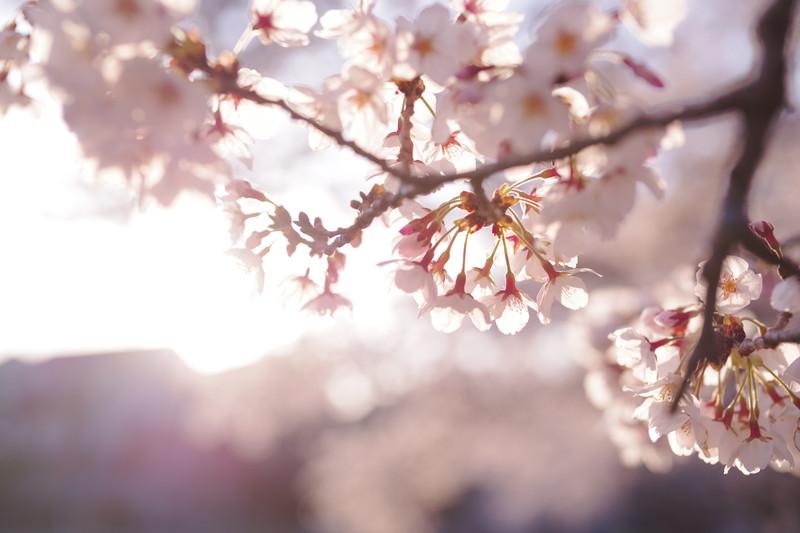 桜と共に歩む人生
